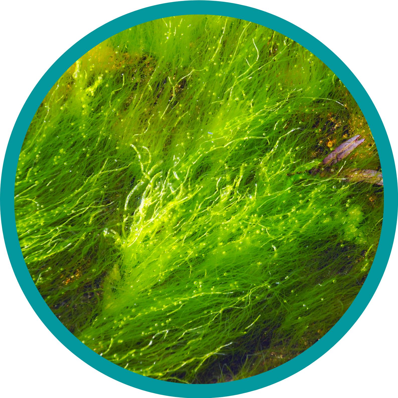 Multitalent Alge